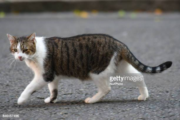 Larry the cat of No 10 Downing Street London UK is seen walking London on September 13 2017