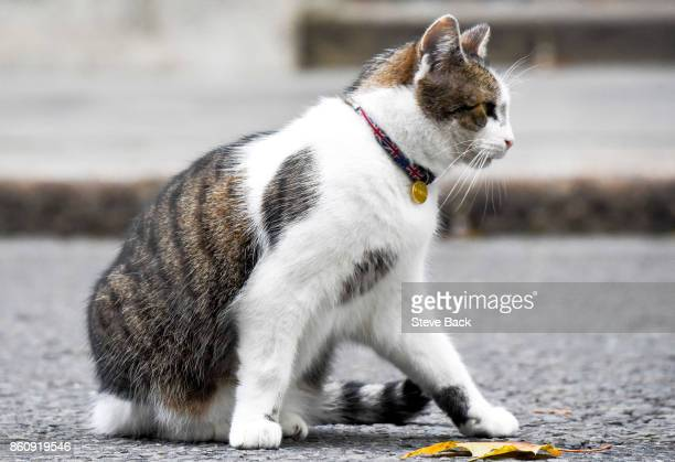 Larry the cat sits in Downing Street sporting a union jack collar on October 12, 2017 in London, England.