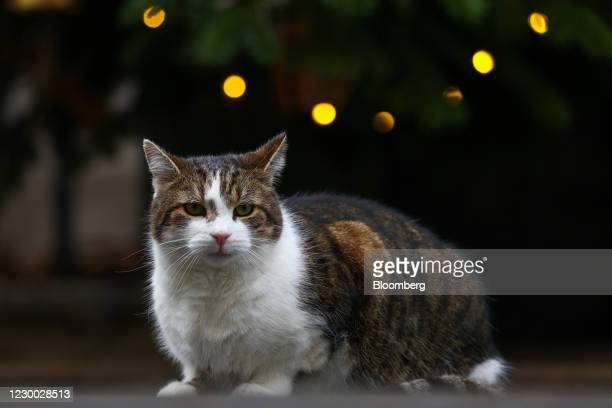 Larry, the Downing Street cat, a brown and white tabby re-homed from Battersea Dogs and Cats Home, sits beneath the Christmas tree outside number 10...