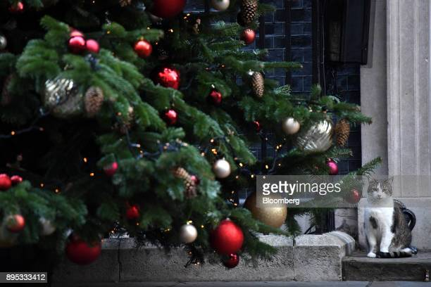 Larry the Downing Street cat a brown and white tabby rehomed from Battersea Dogs and Cats Home sits next to a Christmas tree outside number 10...