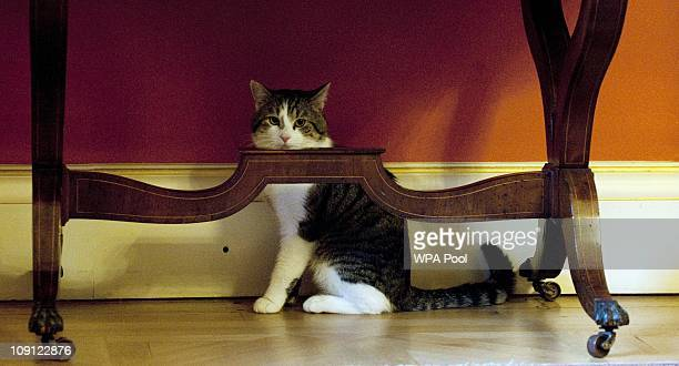 Larry', the new Downing Street cat, hides away from the media attention at Number 10 Downing Street on February 15, 2011 in London, England. It is...