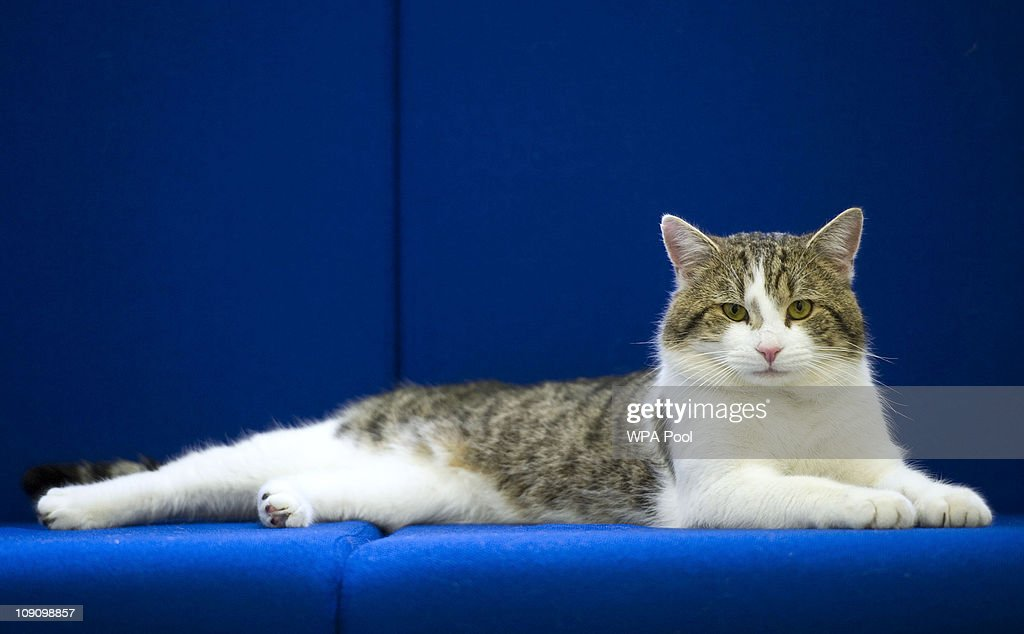 'Larry' the new Downing Street cat, pictured at Battersea Dogs and Cats Home in London, before being taken to the Prime Ministers residence on February 15, 2011 in London, England. British Prime Minister David Cameron has unveiled the latest member of his team - a cat, who it is hoped will dispense with a rat spotted scuttling past the famous door of Number 10 Downing Street in recent weeks.