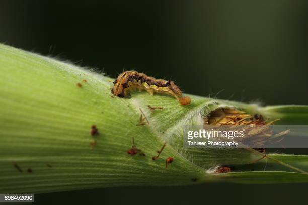 a larva coming out of corn - pest stock photos and pictures