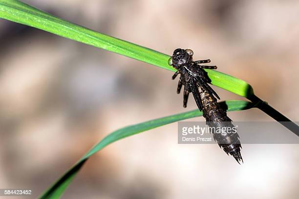 larva of dragonfly - fleur flore stock pictures, royalty-free photos & images