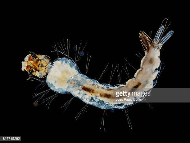 larva of yellow fever and zika mosquito (aedes aegypti) on a black background - aedes aegypti fotografías e imágenes de stock