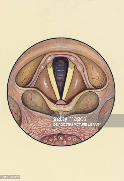 Larynx and vocal cords human body drawing