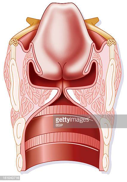 Larynx Drawing