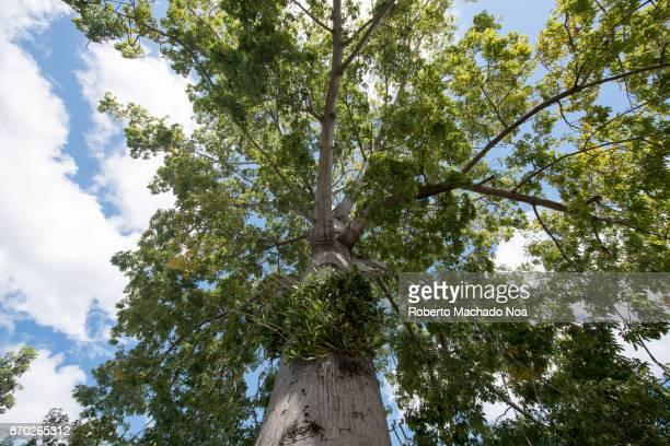Las Tunas, Cuba: Ceiba tree low angle point of view