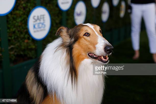 Lassie attends Safe Kids Day presented by Nationwide to raise awareness of preventable injuries on April 26 2015 in West Hollywood California