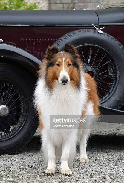 Lassie attends the photocall for the 'Lassie' at Killruddery House June 1 in Wicklow Ireland