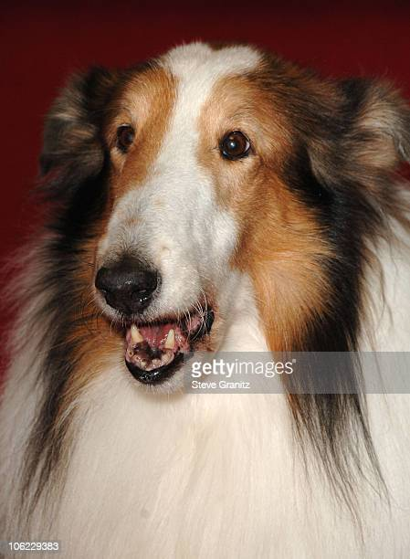 Lassie during 12th Annual Critics' Choice Awards Arrivals at Santa Monica Civic Center in Santa Monica California United States