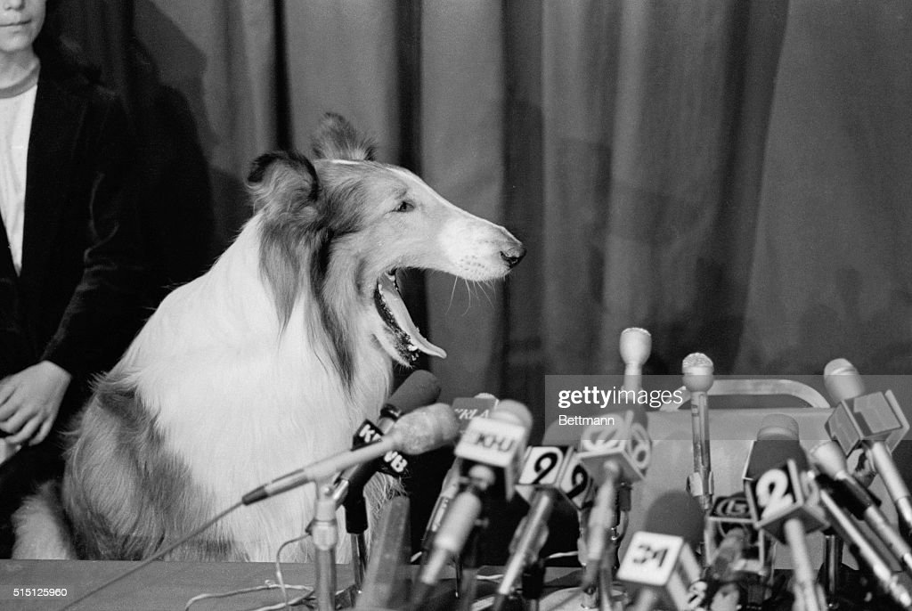 Lassie Sitting at Microphones : News Photo