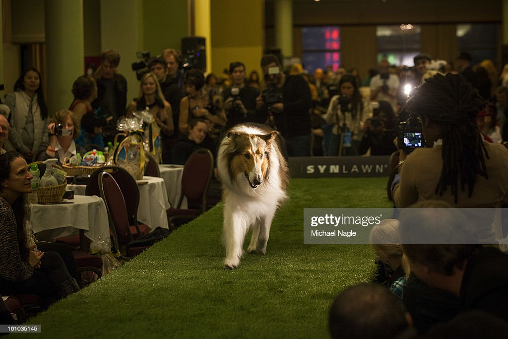 Lassie walks the runway in the New York Pet Fashion Show at Hotel Pennsylvania ahead of next week's Westminster Kennel Club Dog Show on February 08, 2013 in New York City. The Westminster Kennel Club Dog Show first held in 1877, is the second-longest continuously held sporting event in the U.S., second to the Kentucky Derby.