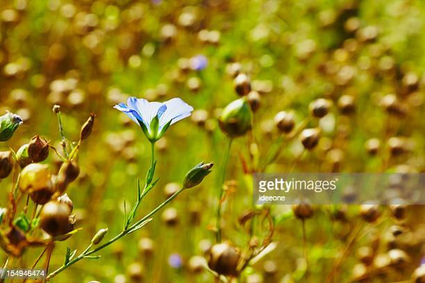 Last Flax flower