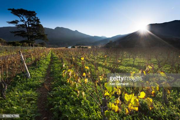 last light of day on klein constantia estate, cape town. rsa - constantia stock pictures, royalty-free photos & images
