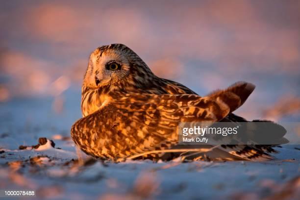 Last Light Owl