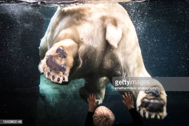 last polar bear - zoo stock pictures, royalty-free photos & images