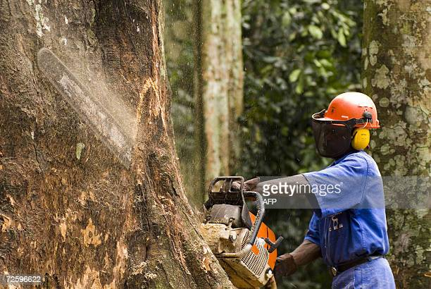Pictured dated in July 2006 shows a man cutting a tree at the forest concession of the company La Compagnie Equatoriale des Bois a subsidiary of...