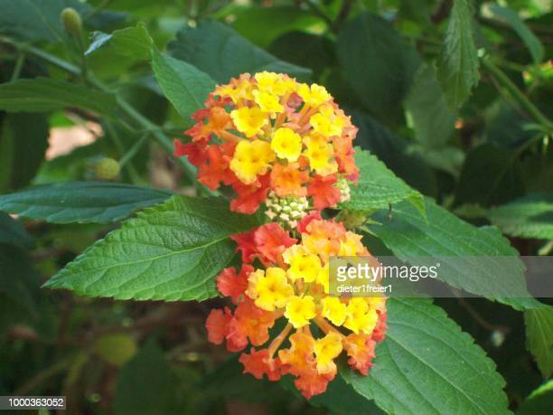 latana red spread - lantana stock pictures, royalty-free photos & images