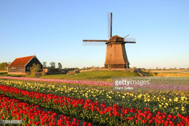 late afternoon at the windmill, the netherlands - noord holland stockfoto's en -beelden