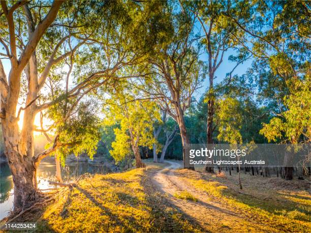 late afternoon light just before dusk along the banks of a billabong in the murray valley national park, near the murray river, corowa, new south wales, australia. - billabong water stock photos and pictures