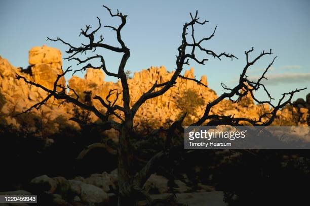 late afternoon light on dead tree in foreground; rocky mountains beyond in joshua tree national park - timothy hearsum stockfoto's en -beelden