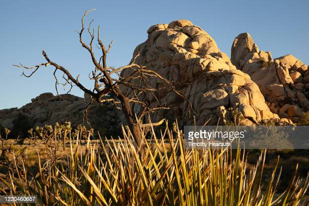 late afternoon light on yucca plants and dead tree in foreground; rocky mountains beyond in joshua tree national park - timothy hearsum stock pictures, royalty-free photos & images