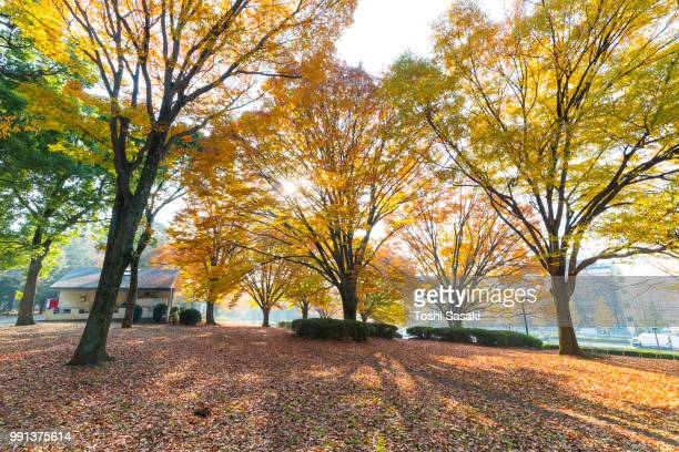 late afternoon sunlight illuminates autumn leaves trees and fallen leaves at yoyogi park shibuya tokyo japan on november 29 2017. - yoyogi tokyo stock photos and pictures