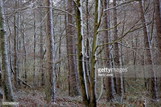 Late snow settling in a forest on the foothills of the Pyranees on 9th March near VillerougeTermenes France The weather pattern in this region has...