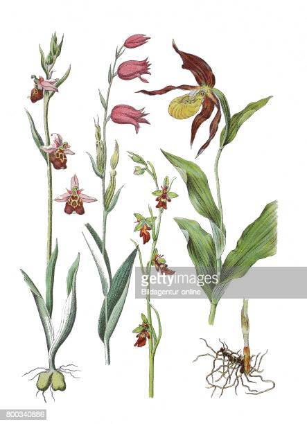 Late spiderorchid Ophrys holoserica Greut Syn Ophrys fuciflora Red Helleborine Cephalanthera rubra fly orchid Ophrys insectifera lady'sslipper orchid...