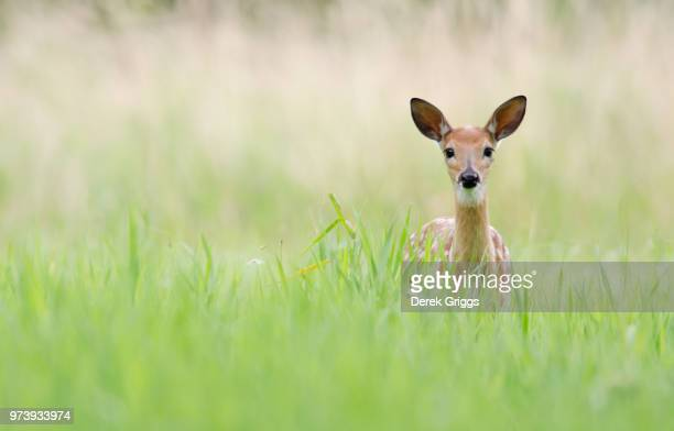 late summer fawn - fawn stock photos and pictures