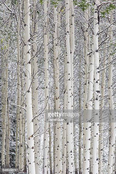 late summer snow storm & aspen grove - grove stock photos and pictures