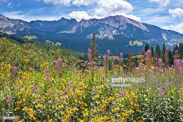 Late summer wildflowers in Colorado's Rocky Mountains