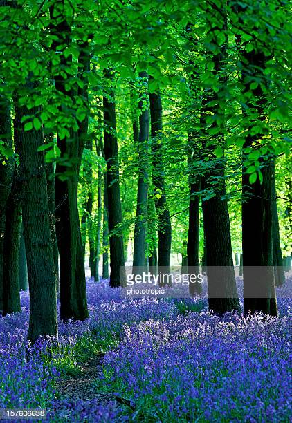 late sun through the bluebell woods - bluebell stock pictures, royalty-free photos & images