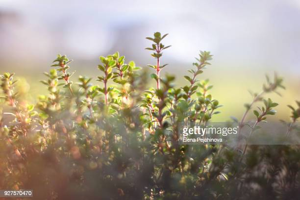 late winter thyme - thyme stock pictures, royalty-free photos & images