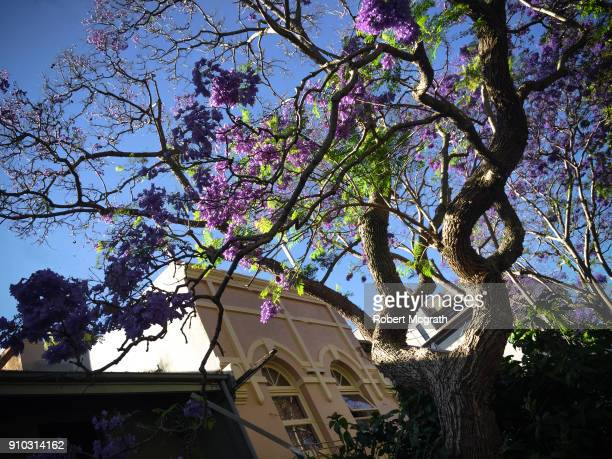 Later afternooin sun breaks through green overgrowth and flowering Jacanda trees in front of inner city Victorian buildings.