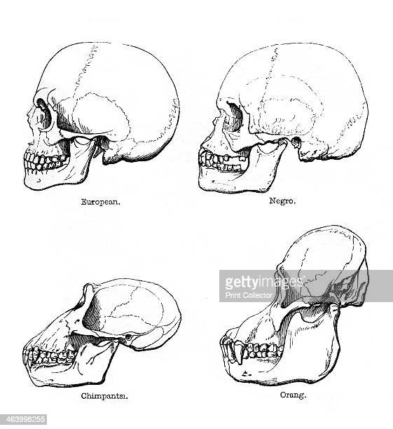 Lateral view of the skull or profile 1848 Comparison of the skulls of European and African humans with those of the chimpanzee and orangutan During...