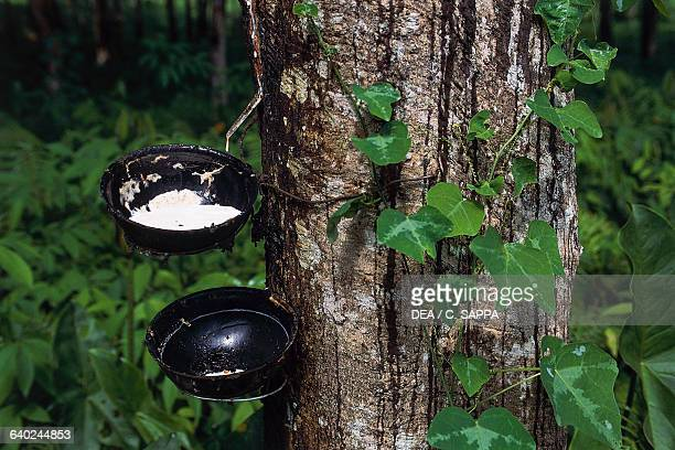 Latex being collected from an incised rubber tree near Axim Ghana