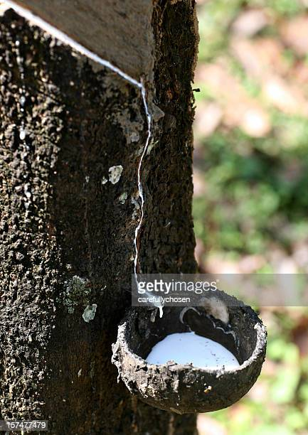 latex from rubber tapping
