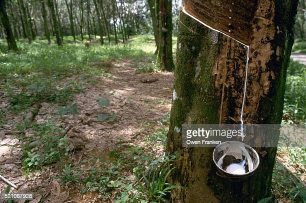 Latex Sap Dripping Into Cup on Tree