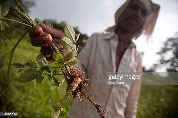Lathi Ram a farmer shows a plant from his failed crop of peanuts at his farm in Chattarpur India on Friday Sept 11 2009 Ram owes a loan of INR 25000...
