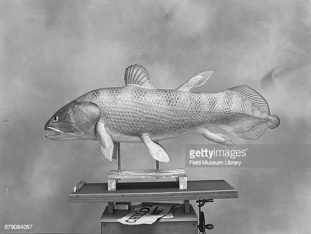 Latimeria chalumnae Coelacanthidae family Discovered in 1938 Model on wood block in progress by Leon L Pray