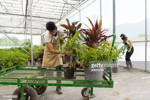 latin employees with masks putting plants in wagon - garden center stock pictures, royalty-free photos & images