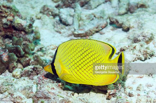 Latticed butterflyfish