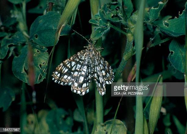 Latticed heath Geometridae