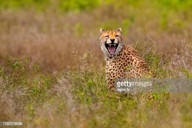 laughing cheetah - meadow stock pictures, royalty-free photos & images