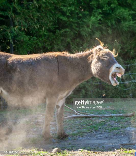 laughing donkey - donkey stock pictures, royalty-free photos & images