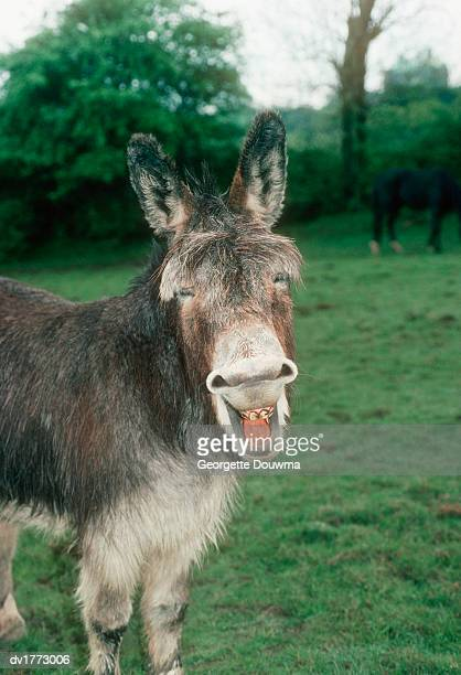 Laughing Donkey Standing in a Field