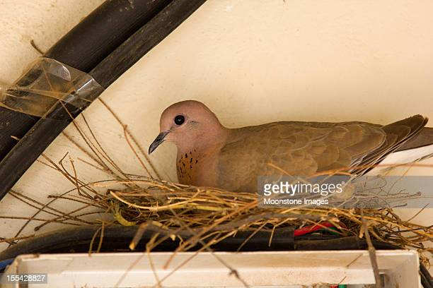 Laughing Dove in Rajasthan, India