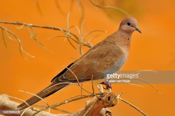 Laughing Dove (Streptopelia senegalensis), the Al Ain Zoo, Al Ain, Abu Dhabi, United Arab Emirates, Arabia, the Orient, Middle East